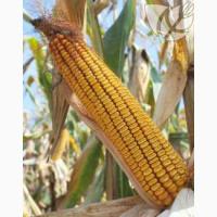 Семена гибридов кукурузы Ладожские. Ладожский 391 АМВ