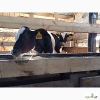 Телята-бычки молочного периода до 200 кг