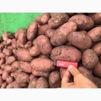 Картофель оптом в Крыму 5+ от производителя. 17 р./кг