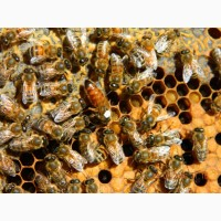 Пчелопакеты Бакфаст F-1