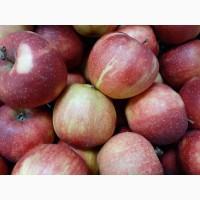 Яблоки калиброванные оптом от производителя