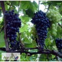 Саженцы и черенки винограда винные и столовые