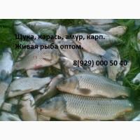 Рыба пресноводная, толстолобик, карп, купить оптом