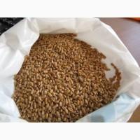 Пшеница яровая от производителя 11руб
