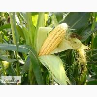 Гибриды семена кукурузы ДКС (Monsanto, МОНСАНТО)