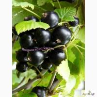 Чёрная крупноплодная смородина, сорт Ядрёная