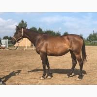 Продаются лошади тракененской породы