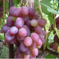 Винограда Ризамат Ота первого сорт