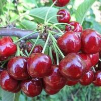 Продам черешню сорта БЫЧИЙ ГЛАЗ из собственного сада разного калибра! урожай 2019г оптом