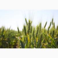 Семена пшеницы озимой (мягкой)
