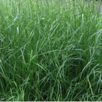 ООО НПП «Зарайские семена» закупает семена фестулолиума от 10 тонн