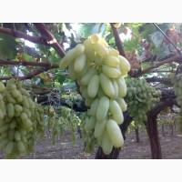 Виноград Дамский пальчик (первый сорт)