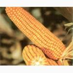 Семена гибридов кукурузы Ладожские. Ладожский 277 АМВ