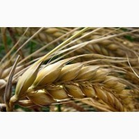 Семена ячменя ярового Вакула ЭС, РС1