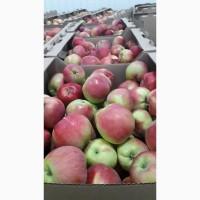 Продается яблоко ранее, сорт Женева