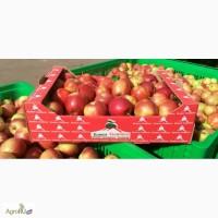 Продаем яблоки, сорт Гала + 12 сортов, первый сорт