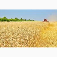 Семена озимой пшеницы переходящего фонда