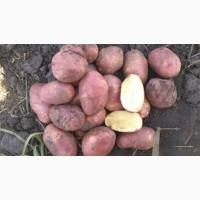 Картофель оптом Ред Скарлет, Гала 5+ от КФХ от 5.5 руб/кг
