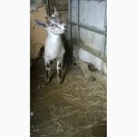 Продам козлят зааненско -нубийской породы