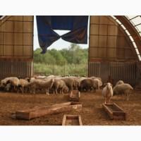 Продам отару овец Романовские-Тексель