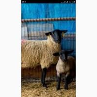 Англо-нубийские козлятки и барашки Суффолк (салффо