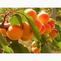 Саженцы абрикосов по доступным ценам