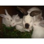 Кролики племенные Белый Великан, Калифорнийские, Советская Шиншилла, Черно-бурые