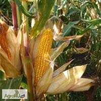 Семена кукурузы ДКС3476ФАО260