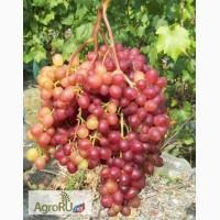 Саженцы и черенки винограда из восточно-европейской равнины