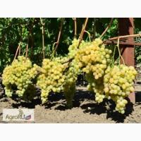 Саженцы и черенки винограда южного урала