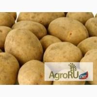 Семенной картофель из Беларуси в Тамбовской обл