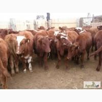 Куплю бычков от 120 кг