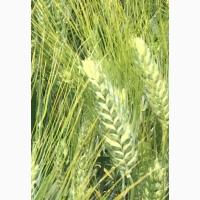 Семена озимой твердой пшеницы сорт Оникс ЭС