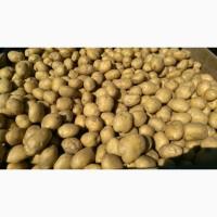 Картофель семенной от производителя ОПТ