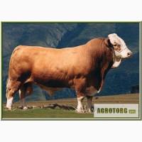 Закупаем оптом крупно рогатый скот КРС живым весом куплю КРС и свиней для откорма и убоя