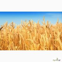 Продам пшеницу мягкую 3 класса