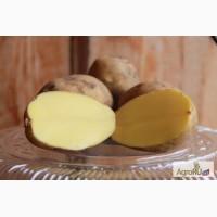 Картофель продовольственный от производителя