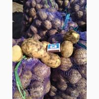 Картофель, капуста, свекла оптом с Алтая