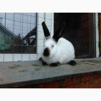 Кролики калифорния, шиншилы, НЗБ и помесные
