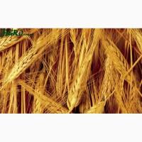 ООО НПП «Зарайские семена» продает фуражный ячмень опт и розница
