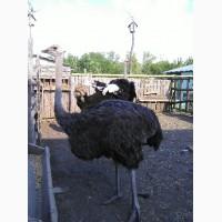 Чёрный африканский страус
