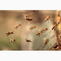 Продам Пчелопакеты породы Карпатка, Карника