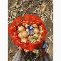 Продаём лук репчатый нового урожая оптом