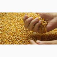 Кукуруза высококачественная