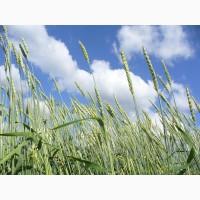 Пшеница яровая (зерно)