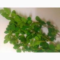 Моринга – чудодейственный продукт здорового долголетия