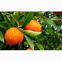 Апельсин