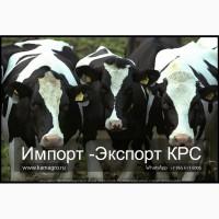 Продажа коров дойных, нетелей молочных пород в России