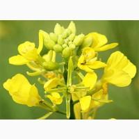 Продаем семена горчицы желтой Сарепская