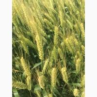 Семена озимой пшеницы Губернатор Дона, Аксинья, Жаворонок, Кавалерка, Есаул, Собербаш